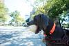 finders keepersss (VanaTulsi) Tags: dog weimaraner weim blueweimaraner vanatulsi blueweim