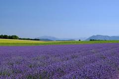 Aux parfums de lavande et d'anis **---+° (Titole) Tags: lavender lavandes lavande titole nicolefaton field anis purple bluesky plateaudevalensole friendlychallenges 15challengeswinner thechallengefactory