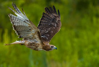 Red Tail Hawk (Buteo jamaicensis ) in flight