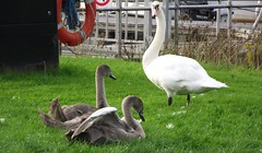Swan family 01 (byronv2) Tags: bird nature birds fauna marina canal swan glasgow wildlife cygnet swans kilsyth forthclydecanal forthandclydecanal auchinstarry