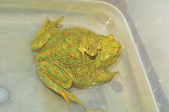 Chilean Great Frogs (carlossahliehm) Tags: animalia species frogs amphibian criticallyendangered wildlifeconservation endangeredspecies naturephotography