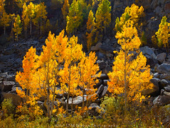 Aspen Torches (DM Weber) Tags: california autumn mountains color fall backlight creek canon landscape nevada sierra granite aspens backlit aspen bishop eos5dmk2 psa148 dmweber