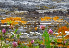 What color! Metamorphic gray rocks with orange lichen and clover, Pemaquid Point Lighthouse, Bristol, Maine, July 2015 (Judith B. Gandy) Tags: dykes bristol rocks lighthouses maine lichen clovers pemaquid dikes igneous metamorphic pemaquidpoint igneousrocks foliose pemaquidpointlighthouse folioselichen orangelichen metamorphicrocks