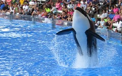 Killer Whale_1779-crop (G Kirk) Tags: world ocean sea blackandwhite white fish black water one blackwhite orlando marine florida dolphin killer whale fl orca seaworld majestic mammals shamu killerwhale grampus centralflorida orcinus blackfish gkirk orcawhale oneocean canonsx50hs