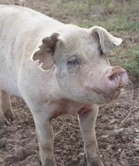 Some Pig (catherine4077) Tags: pink animal outside pig westvirginia pigs shepherdstown sanctuary animalsanctuary