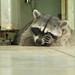 Peekaboo raccoon