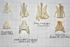 ComparisonWoodpeckerKingfisherWaxwing5 (JRochester) Tags: green skeleton major woodpecker great kingfisher bones bone garrulus spotted waxwing pelvis sternum bombycilla alcedo atthis picus viridus dendrocopes