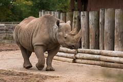 Eastern Black Rhinoceros (Gareth Christian) Tags: camera mammals 80400mm chesterzoo easternblackrhinoceros dicerosbicornismichaeli nikond750 hoofedgrazing