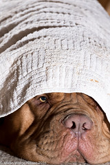 You ain't seeing me! (Martin Werge Nissen) Tags: doguedebordeaux maximus animal dog
