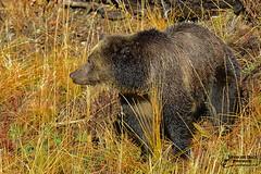 THE WILD GRIZZLY (Aspenbreeze) Tags: bear animal wildlife yellowstonenationalpark wildanimal yellowstone wyoming grizzly grizzlybear wildbear wyomingwildlife wildgrizzly grizzlysow aspenbreeze moonandbackphotography bevzuerlein