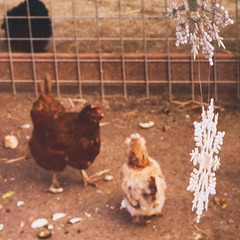 sf sanfrancisco christmas chickens chicken zoo farm ornaments ez cz pettingzoo decor christmasdecor childrenszoo sfzoo sanfranciscozoo familyfarm explorationzone sanfranciscozoogardens
