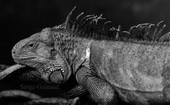 Iguane (serge guiraud) Tags: reptile iguane iguanaiguana iguanevert sergeguiraud jabiruprod