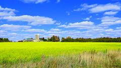 Canola Field east of Fergus, Ontario (Lois McNaught) Tags: canola brightyellow crop farm field scene rural landscape barn silo yellowflower fergusontario canada trees