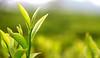 Two Leaves and a bud (Thunderbolt Tea) Tags: tea teas twoleavesandabud darjeelingtea darjeeling tealeaves tealeaf