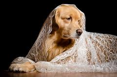 Fur and Lace (bztraining) Tags: dogchal henry odc bzdogs bztraining golden retriever 3662016