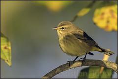 palm warbler (Christian Hunold) Tags: palmwarbler woodwarbler warbler songbird bird bokeh palmenwaldsnger autumn johnheinznwr philadelphia christianhunold