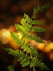 Fern sehen (Basse911) Tags: fern ormbunke saniainen autumn syksy hst eveninglight september syyskuu nature bokeh hang hanko finland suomi nordic