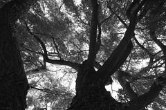 Progression (Atreides59) Tags: nature arbre tree arbres trees bw black white blackandwhite noir blanc noiretblanc pentax k30 k 30 pentaxart atreides atreides59 cedriclafrance