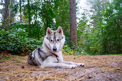 being fascinated by the ground (Roos van Gent Photography) Tags: siberianhusky hikingwithdogs traildog forest dogphotography sleepy huskypuppy