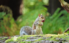Conkers for lunch (PhotoLoonie) Tags: squirrel greysquirrel britishwildlife ukwildlife wildlife ukanimal animal wildanimal conker nature