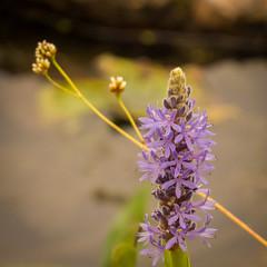 Pickerelweed (hickamorehackamore) Tags: 2016 cornelllabofornithology ithaca ny nystate newyork newyorkstate pickerelweed sapsuckerpond september nativewildflower
