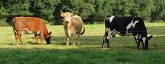 Buitenpost, the Netherlands (Elisa1880) Tags: koe cow twijzel buitenpost friesland nederland netherlands