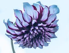 Chrysanthemum Honka (vern Ri) Tags: purple flowers blooms blumen flora nybg nikon d750 mauve