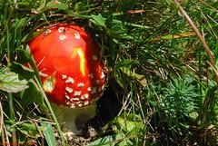 Amanite tue-mouches (Amanita muscaria) (TICHAT10) Tags: champignons fleursetplantes suisse rouge vaud amanitetuemouches amanitamuscaria alittlebeauty coth