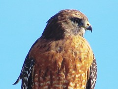 IMG_3043 (kennethkonica) Tags: nature bird canonpowershot summer global random hoosiers marioncounty midwest america usa indiana indianapolis indy colors animaleyes animal outdoor c wildlife wild stare october sky animalplanet blue