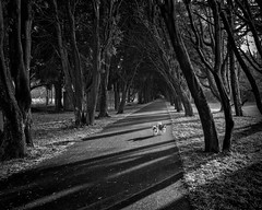 Let's go exploring (adrian.sadlier) Tags: stannespark trees winter wintersun buddy shadow westie westhighlandwhiteterrier dogs walking exploring cold