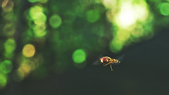(Botond Pataki) Tags: nature animal insect hoverfly fly flying colors green color macro closeup depthoffield dof bokeh