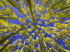 Amazing Aspen Trees In Fall (Mabry Campbell) Tags: flickrexplore explored explore 2016 h5d50c hasselblad houstonphotographer mabrycampbell nm newmexico october santafe santafecounty santafenationalforest usa unitedstatesofamerica alpine aspen aspens autumn blue colorful commercialphotography fall fineart fineartphotography forest image landscape landscpae outdoors photo photograph photography tallbuildings tree trees up vertical yellow f45 october32016 20161003campbellb0000403 80mm sec 100 hc80