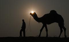 Walk in the park (bhavit.godiwala) Tags: pushkar pushkar2016 pushkarfair nikon d3300 bhavit ngc twop camels camelfair rajasthan rural village ajmer sunset sillhoute