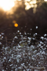 White berries of symphoricarpos albus in the Atumn (gildor86) Tags: sunset canon600d canon eos600d berries plant whiteberries symphoricarposalbus garden shrub autmn november royalgardensazienki warsaw poland flare m42 tair11a