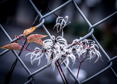Fence Art. (Omygodtom) Tags: abstract art flower grass garden flickr fence street star steel nature nikon d7100 macromonday macro bokeh lens lines wow diamond digital tamron90mm tamron plant outdoors