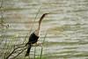 DSC06236.jpg (joe.spandrusyszyn) Tags: byjoespandrusyszyn suliformes anhingidae unitedstatesofamerica florida anhingaanhinga vertebrate nature bird orlando lakeapopka darter snakebird lakeapopkalooptrail animal anhinga