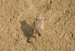 Sandregenpfeifer - Common ringed plover (Charadrius hiaticula) (fotoculus) Tags: portugal algarve algarvereise1210bis2112016 riaformosa quintadelago vögel bideford aves loiseaux seevögel limnicolen watvögel sandregenpfeifer commonringedplover charadriushiaticula borrelhograndedecoleira
