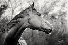 Thoroughbred... (AnthonyCNeill) Tags: horse racehorse thoroughbred outdoor profile animal portrait black white nikon d7000 bokeh stallion caballo cheval pferd schwarz weiss blanco negro blanc noir head ears whiskers