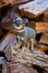 Tiny climbing (Michelle.Barton.Images) Tags: dog puppy small baby cute green animal pink garden summer fun playing