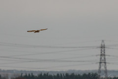 Short Eared Owl-0851 (WendyCoops224) Tags: 100400mml 70d burwellfen canon eos ©wendycooper shortearedowl