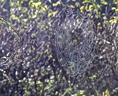Ano Nuevo, spider web, Butano State Park, Goat Hill trails, Little Butano Creek, redwoods (David McSpadden) Tags: anonuevo butanostatepark goathilltrails littlebutanocreek redwoods spiderweb