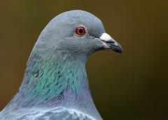 pidgeon artis JN6A1360 (j.a.kok) Tags: vogel bird pidgeon duif artis