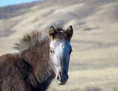 Headdress (prairiegirrl) Tags: mustangs wildhorses wyoming wildlife