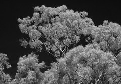 Gums in Spring (robinguymer) Tags: nikonfedigital nikonfe blackwhite infrared gumtree yellowbox