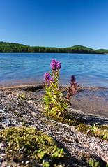 IMG_7950-1 (Andre56154) Tags: schweden sweden sverige wasser water see lake ufer himmel sky felsen blume flower