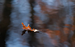 Gliding (Irina1010 - out) Tags: leaf oakleaf pond water reflection gliding nature canon