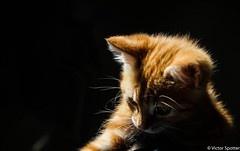 Sweety Cat (plane-spotter31) Tags: cat cats animal cute awesome sweet sweety fun funny animals baby babies sleep red yellow little size eyes