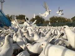 Mazar - Blue Mosque (Dreadful Dan G) Tags: afghanistan travel mazar mazarisharif birds pigeons doves