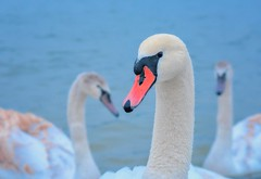 My new friends (rgbshot72) Tags: red birds water bird river blue animals beautiful closeup white wildlife swan swans nikon d800e swancloseup familyofswans swansinthewinter peopleandswans