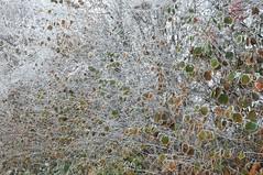 berfrorener Herbst - Haselstrauch (Corylus avellana); Bergenhusen, Stapelholm (131) (Chironius) Tags: stapelholm bergenhusen schleswigholstein deutschland germany allemagne alemania germania  niemcy rosids fabids buchenartige fagales birkengewchse betulaceae haselnussgewchse coryloideae haselnuss hasel corylus reif laub herbst herfst autumn autunno efterret otoo hst jesie